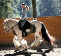 Rock Ranch Toy Boy, 2002 imported Gypsy Vanner Horse stallion