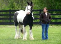 Feathered Gold Tierney, 2006 Gypsy Vanner Horse gelding