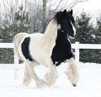 Summer's Tinka, 2004 imported Gypsy Vanner Horse mare