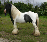 Tubs, Gypsy Vanner Horse stallion located in England