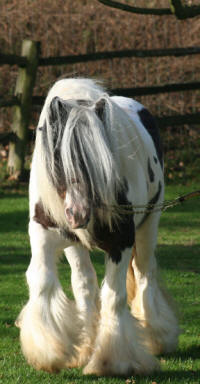 Tumbleweed, Gypsy Vanner Horse stallion in the UK