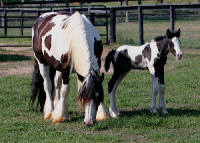 Two Step, Gypsy Vanner Horse colt