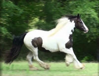 Windsong, 2008 Gypsy Vanner Horse mare